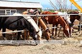 Лошади для конных прогулок в Феодосии